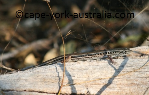 striped skinks