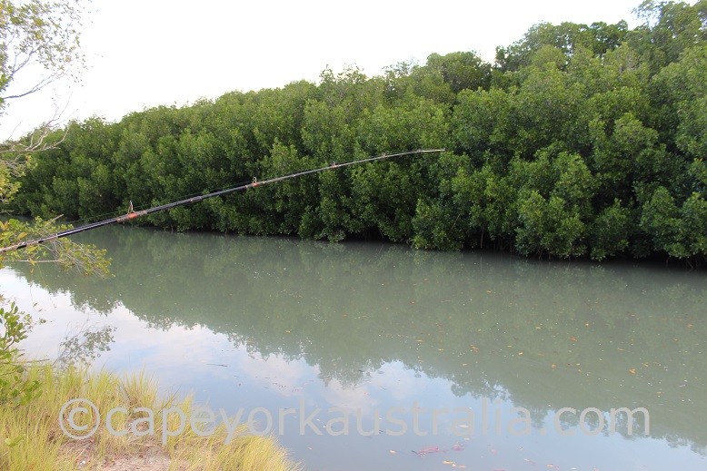 weipa fishing mangrove creeks