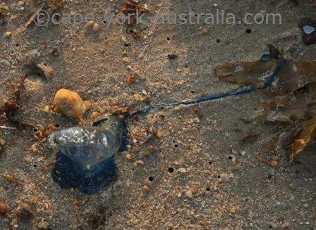 bluebottle jellyfish