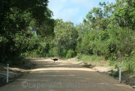 cassowary cape york