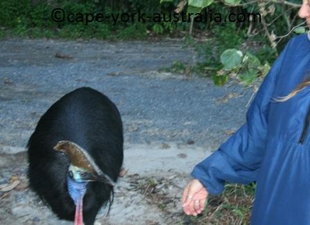 cassowary feeding