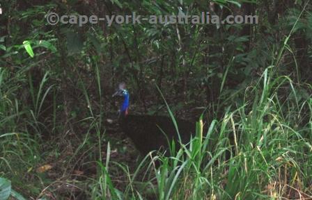 cassowary habitat