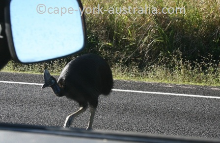 cassowary threathened