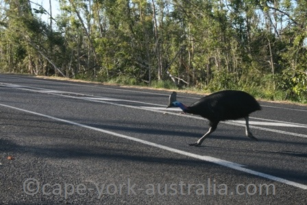 cassowary threaths
