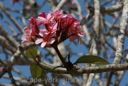 frangipani flower