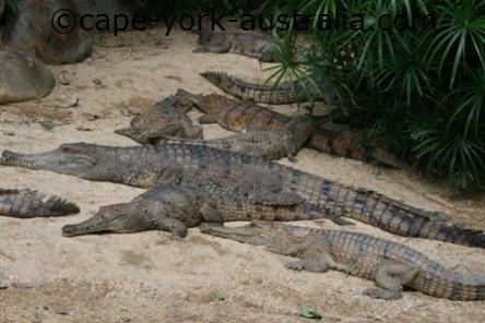 freshwater crocodiles