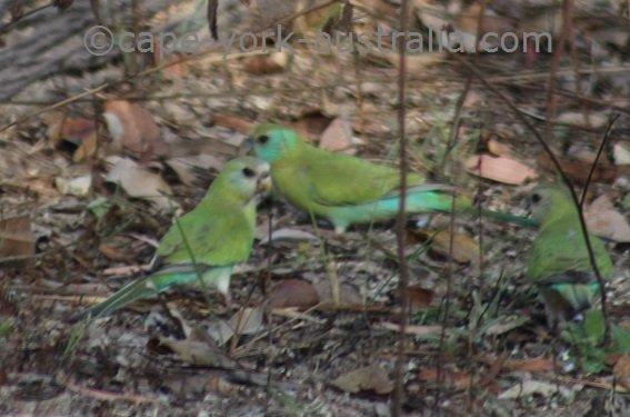 golden shouldered parrot female
