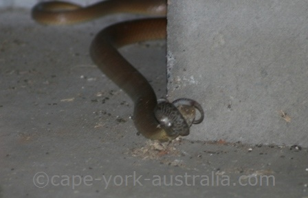 king brown snakes